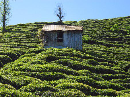 The Tea Plantations, Hut, Rize, Countrside
