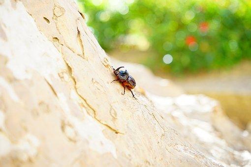 Rhinoceros Beetle, Beetle, Horn, Krabbeltier