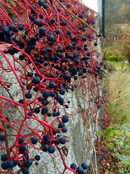 Virginia Creeper, Berry, Foundations, Rank