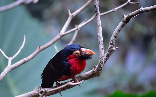 Bearded Barbet, Exotic, Colorful, Bird, Fly, Wings
