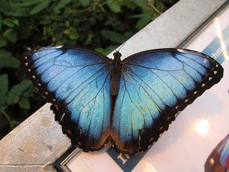 Sky Butterfly, Edelfalter, Butterfly, Blue Morphofalter