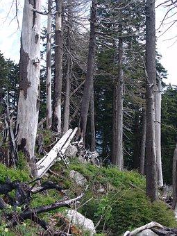 Forest Dieback, Forest Decline, Forest, Outdoor, Woods
