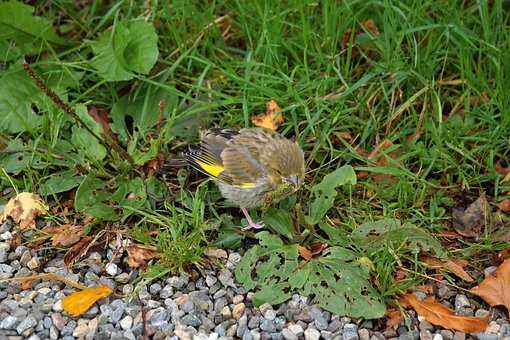 Greenfinch, Bird, Fink, Carduelis Chloris, Songbird