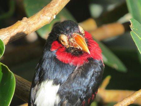 Bearded Barbet, Exotic Bird, Close-up, Bird, Fly, Wings
