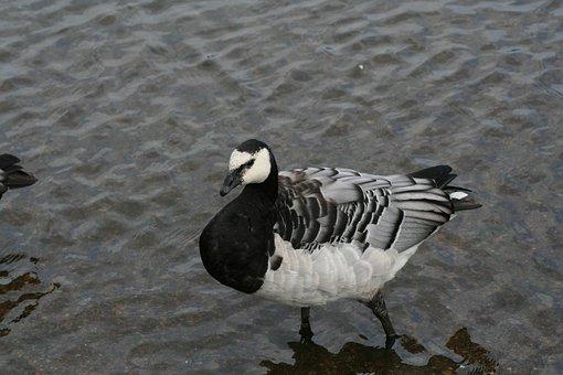Branta, Leucopsis, Animal Barnacle Goose, Bird, Fly