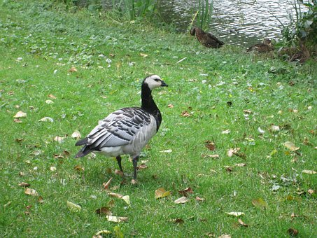 Branta Leucopsis, Barnacle Goose, Bird, Fly, Wings
