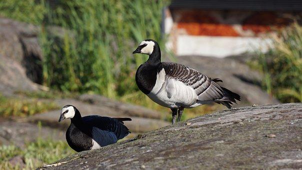 Goose, Barnacle Goose, Branta Leucopsis, Couple