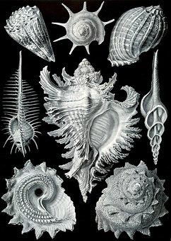 Shellfish, Mussels, Murex Pecten, Prosobranchia Haeckel
