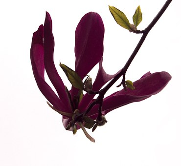 Magnolia Flower, Flower, Tulip Branch, Beautiful
