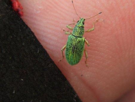 Green Rüßler, Phyllobius, Beetle, Insect, Animal