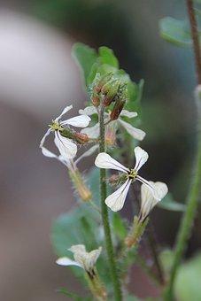 Arugula Flowers, Arugula, Flowers, Brassicaceae, Salad