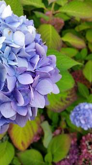 Hydrangea, Flower, Blue, Purple, Blossom, Bloom