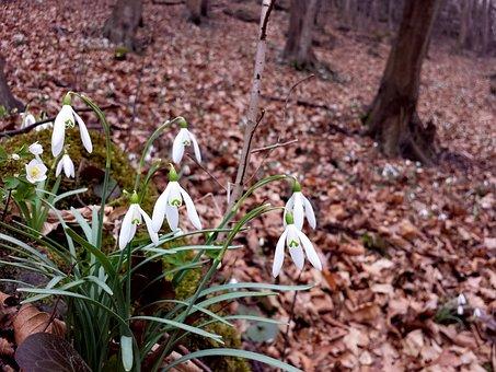 Snowdrops, śnieżyczki, Spring, Flowers, Forest, Plants