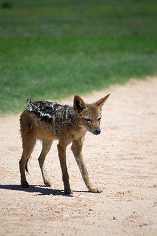 Jackal, Wildlife, Scavenger, Canine, Predator, Standing