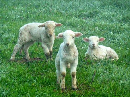 Lambs, Sheep, Farm, Lamb, Animal, Cute, Animals