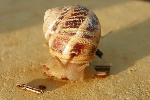 Snail, Edible Snail, Cantareus Aspersus, Shell, Edible