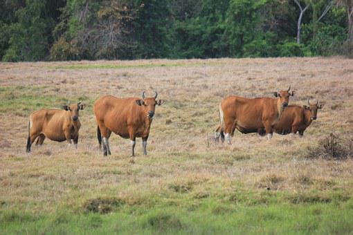 Bull Forest, Animal, Wildlife, Mammal, Environment