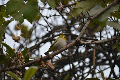 Silvereye, White Eye, Wax-eye, Bird, Nature, Wildlife