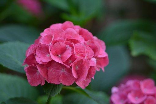 Hydrangea, Pink, Garden