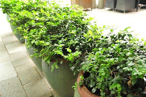 Green Plants, Bonsai, Shanghai Xintiandi, Plants