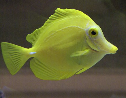 Fish, Yellow, Aquarium, Sea Life, Water Creature