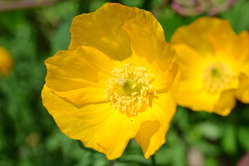 Poppy, Yellow, Scottish Poppy, Roadside, Flower