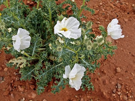 Wildflower, Mexican Poppy, Flower, Yellow, Desert