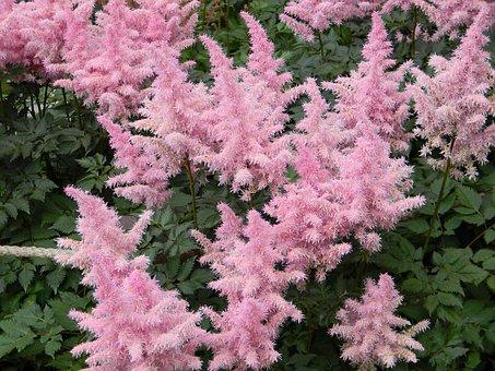 Astilbe, Astil′be, Flower, Garden Flower, Pink Flower