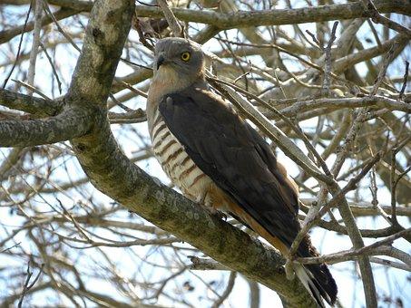 Pacific Baza, Aviceda Subcristata, Birds, Wildlife