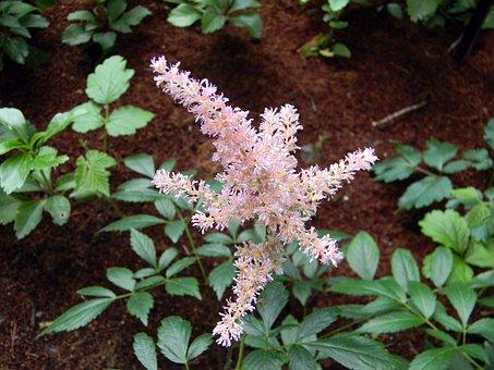 Astilbe, Pink Astilbe, Bloom, Flower, Flowers, Pink