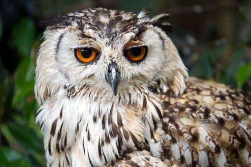 Owl, Bird, Gasze, Look, Wild, Eyes