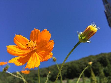 Cosmos, Blue, Nature, Kosher, Yellow, Flowers, Buds