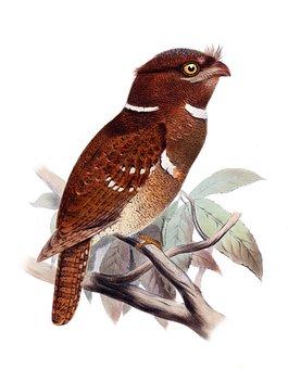 Bird, Owl Schwalme, Batrachostomus Septimus, Drawing