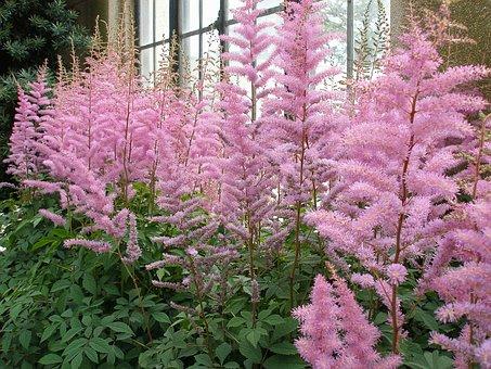 Flowers, Astilbe, Plant, Summer, Blossom, Pink, Flora