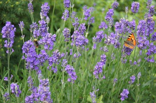 Lavender, Plant, Purple Flower, Lavender In The Garden