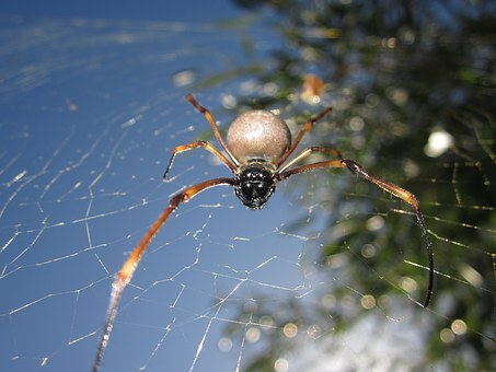 Animal, Spider, New Caledonia