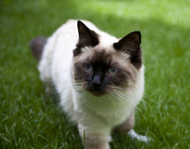 Cat, Ragdoll, Brown, Cream, Cute, Animal, Pet, Feline