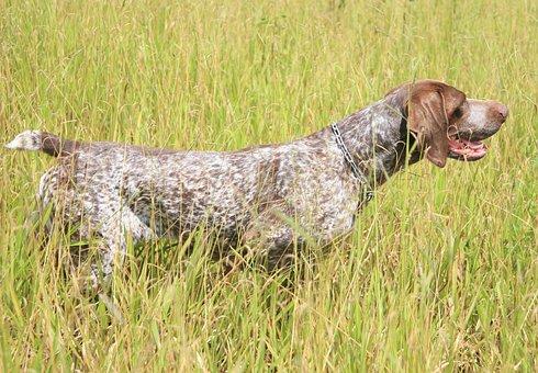 Dog, Hunting, German Arm