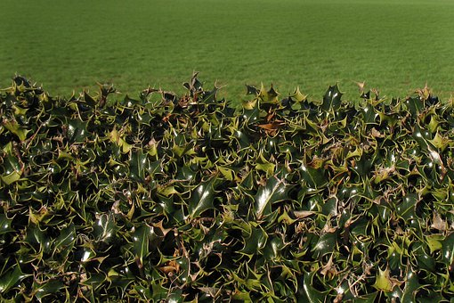 Holly, Hedge, Fence, Plant, Pasture, Green