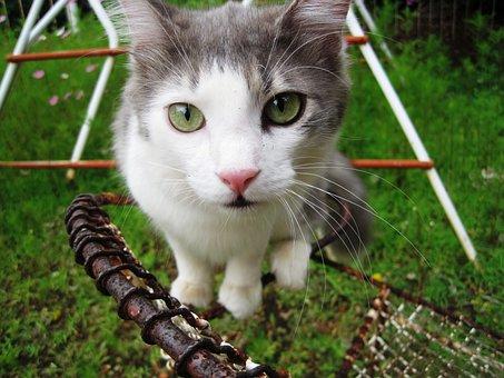 Cat, Pet, Green Eyes, Ragdoll Cat, White, Grey