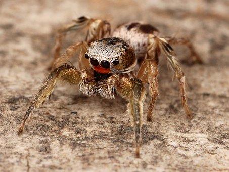 Spider, Insect, Kaldari Habronattus, Macro, Close-up