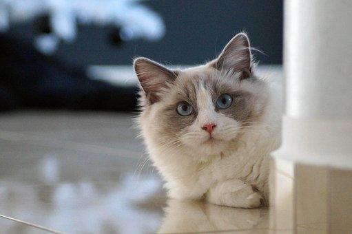 Cat, Ragdoll, Kitten