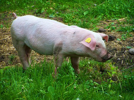 Little Piglets, Benefits Of Animal, White Pig