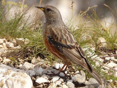 Bird, Mountain Bird, Animal, Nature, Fauna