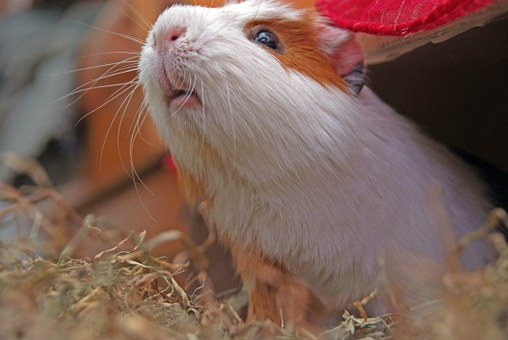 Guinea Pig, Rodent, Cuy, Pet, Animal