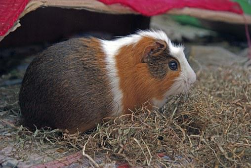 Guinea Pig, Rodent, Cuy, Animal, Animals, Pet, Mammals