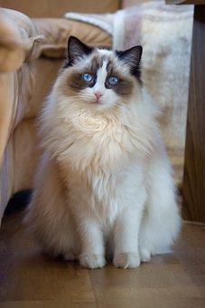 Cat, Ragdoll, Sweet, Cute, Thoroughbred, Pet, Adidas