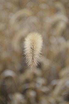 The Dog's Tail Grass, Setaria Viridis, Autumn