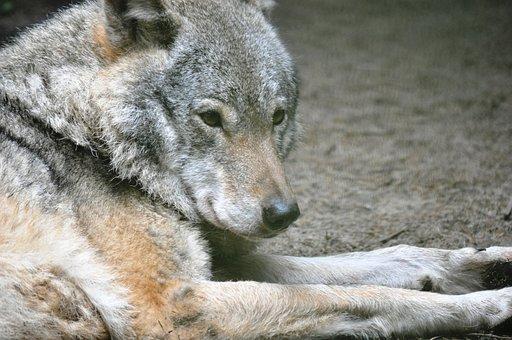 Wolf, Stobnica, Watchers