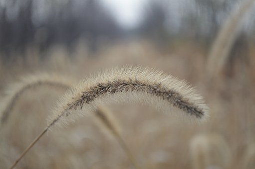 The Dog's Tail Grass, Setaria Viridis, Beauv, Autumn